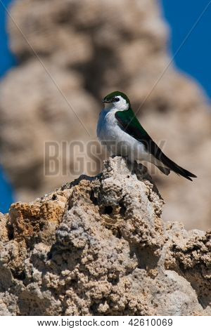 Violet-green Swallow (tachycineta Thalassina) Perching On A Cliff