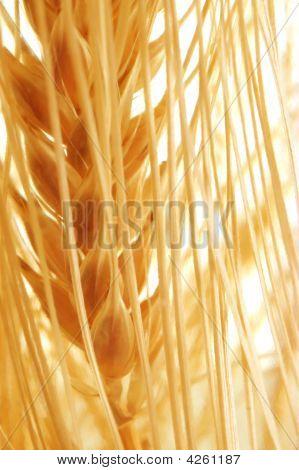 Orejas de grano de oro