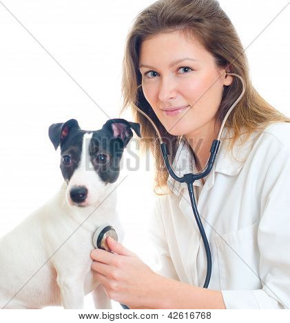 Female Veterinarian Examining Jack Russell Terrier With Stethoscope. Isolated On White