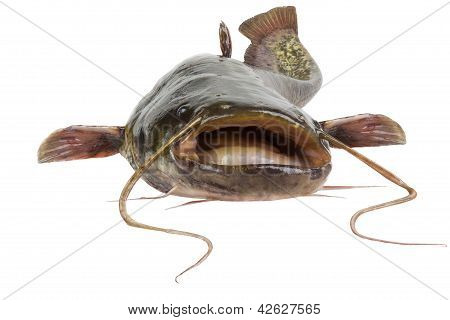 The River Catfish