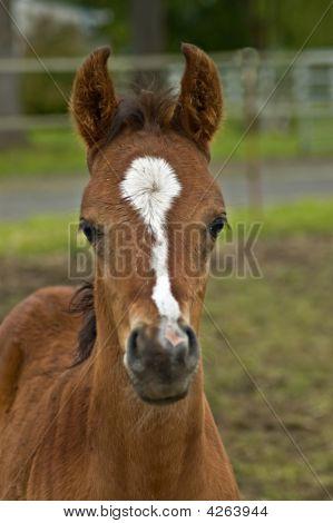 Baby Foal Head Shot