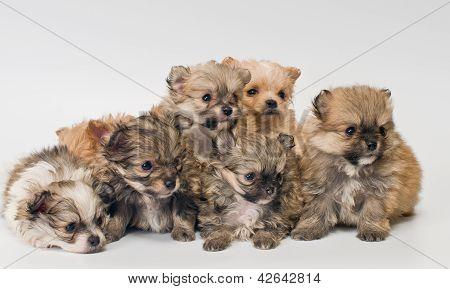 Puppies In Studio