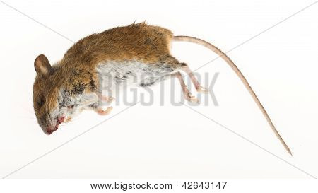 Dead Mouse Isolated