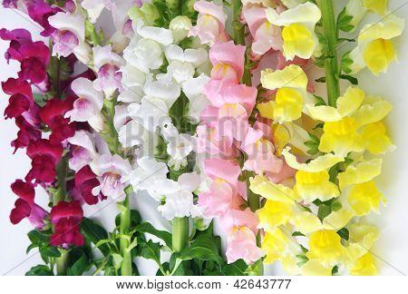 Variegated Antirrhinum (snapdragon) Flower Background