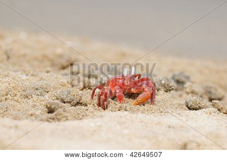 A lonely Fiddler crab defending its terittory