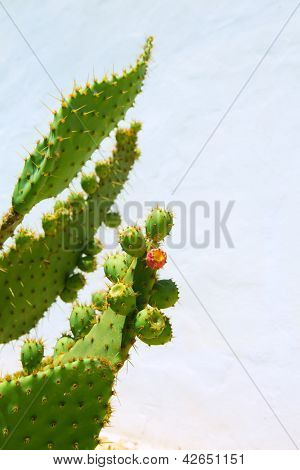 chumbera nopal prickly pear fruits plant