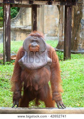Big orangutan
