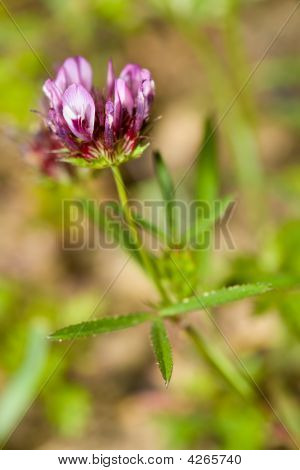 Closeup Of Tomcat Clover, Trifolium Willdenovii