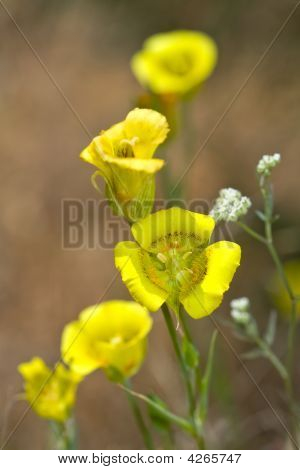 Closeup Of Yellow Mariposa Lily, Calochortus Luteus