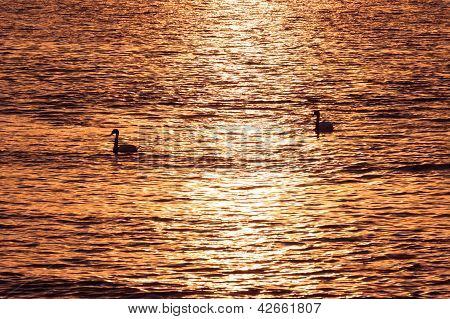 A Couple Of Swans In Sunset Over The Sea