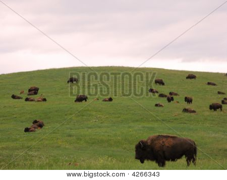 Bison Herd On The Prairie