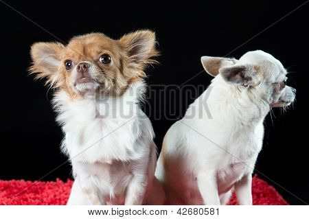 Portrait Of Two Small Chihuahua Dogs