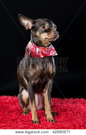 Chihuahua In A Decorative Red Bib