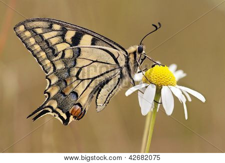 Beautiful Swallowtail Butterfly