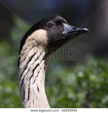 Hawaiian Goose Nene 02