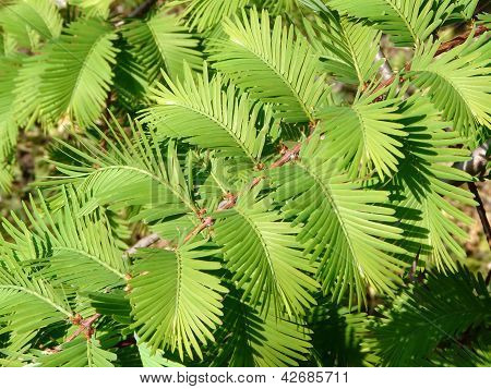 Young Branch Of The Dawn Redwood