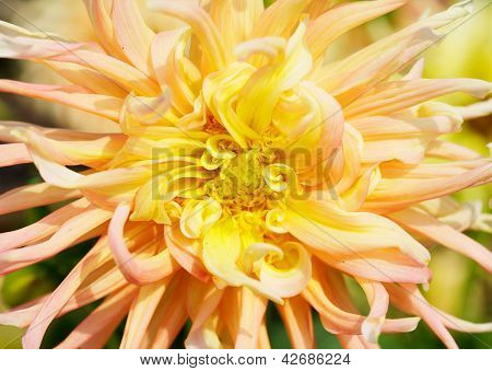 Close up of a Yellow and Red Dahlia with wild petals