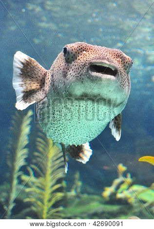 Puffer fish swimming in a water tank.
