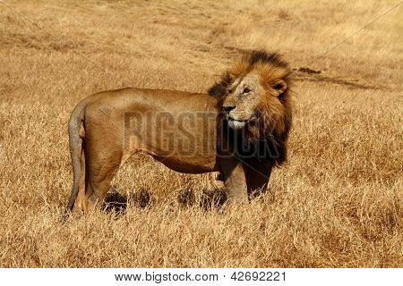Male Lion Blown By The Wind