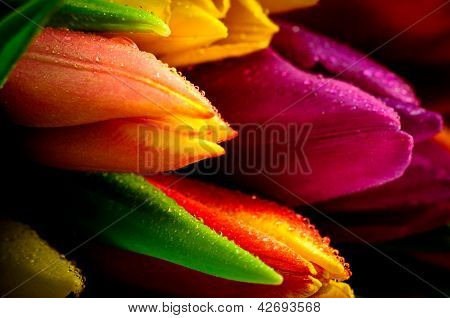MIxed Colours Tulips Close-Up with Waterdrops