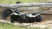 stock photo of skunks  - Two baby skunks in hollow log - JPG