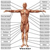 stock photo of anatomy  - 3D vector male or human anatomy - JPG