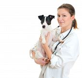 stock photo of white terrier  - Female veterinarian holding jack russell terrier - JPG