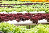 picture of hydroponics  - Hydroponic vegetable is planted in a garden - JPG