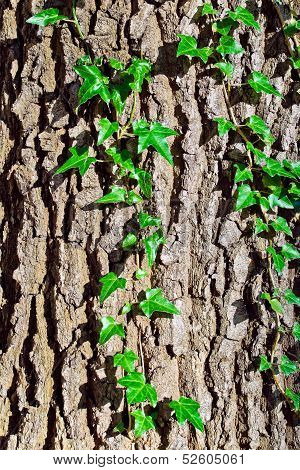 Ivy Ordinary Or Ivy Climbing (lat. Hedera Helix) To The Trunk Of The Tree. Background Of Vertical
