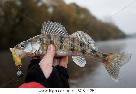 Volga zander, a pike-perch variety, in fisherman's hand