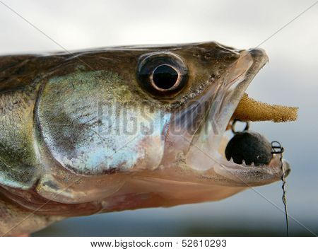Walleye caught on handmade jig lure, close-up on head