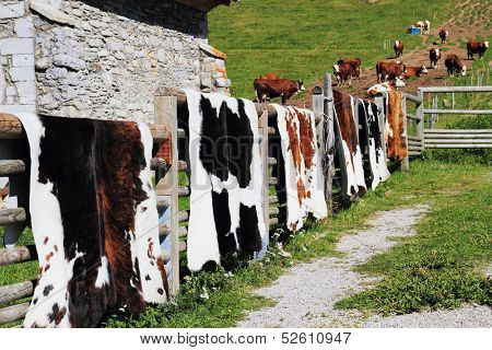 Country Fair in Haute Savoie, France. Hung on a wooden fence beautifully crafted cowhides