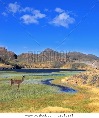 A graceful guanaco stands on the shore of blue lake, overgrown with grass and reeds. Patagonia national park Torres del Paine, Chile