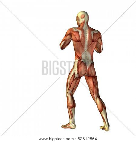 3D human or man with muscles for anatomy or sport designs. A male isolated on white  background