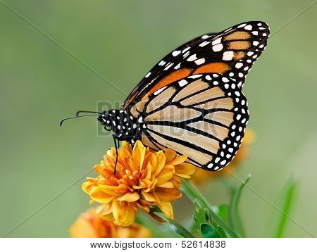 Monarch butterfly during autumn migration