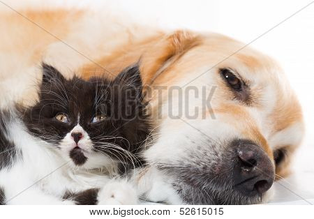 Golden Retriever With A Persian Cat