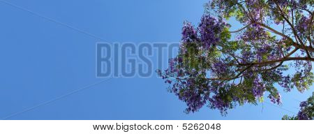Jacaranda Tree Branch