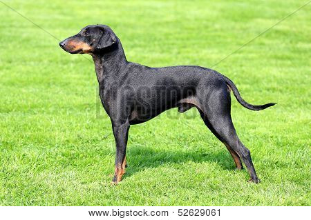 Manchester Terrier On A Green Grass Lawn