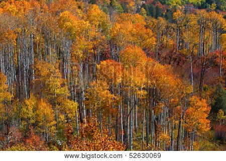 Tall colorful Aspen trees in autumn time