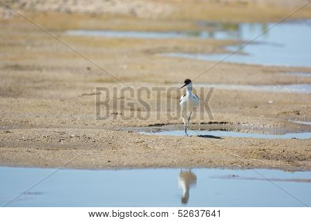 Wading bird Pied avocet walking in nature water