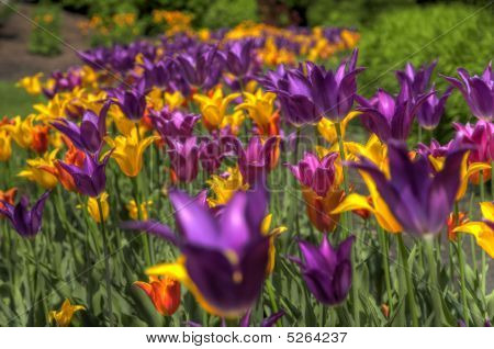 Hdr Tulips