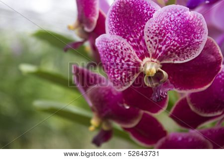 Purple Orchids(vanda)