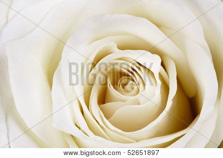 Close-up of beautiful white rose.