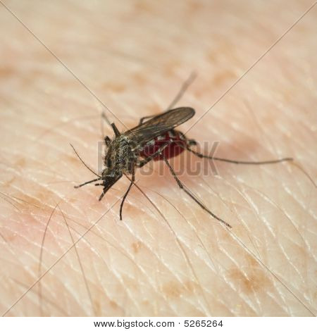 Mosquito Has Bitten And Sucks Blood