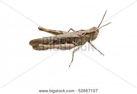 The Crimean Grey Grasshopper