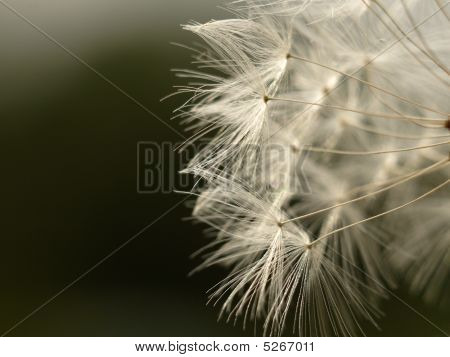 Dandelion Seed Magnified