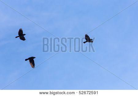 Three Black Birds