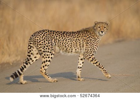 Female Cheetah Walking, South Africa