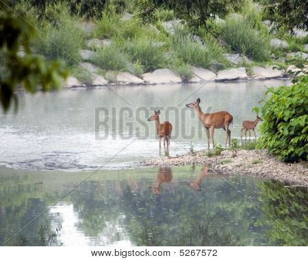 Two Does And A Fawn