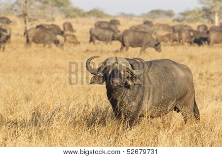 A Male Cape Buffalo With Herd, South Africa